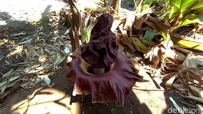 Warga Desa Kalipucang Wetan, Jepara, dihebohkan dengan bau busuk yang menyengat. Setelah ditelusuri, bau tersebut berasal dari bunga bangkai yang tumbuh.