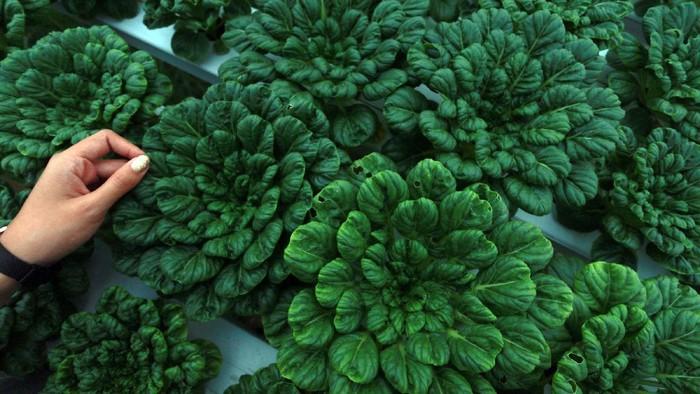 Seorang pekebun membungkus selada hijau pesanan di perkebunan sayuran organik di Suwawa, Kabupaten Bone Bolango, Gorontalo, Rabu (14/10/2020). Permintaan sayur organik dari sejumlah perkebunan yang dijual mulai dari Rp35 ribu hingga Rp50 ribu per kg tersebut semakin meluas hingga ke supermarket, hotel, pedagang makanan, rumah makan dan industri rumahan. ANTARA FOTO/Adiwinata Solihin/foc.