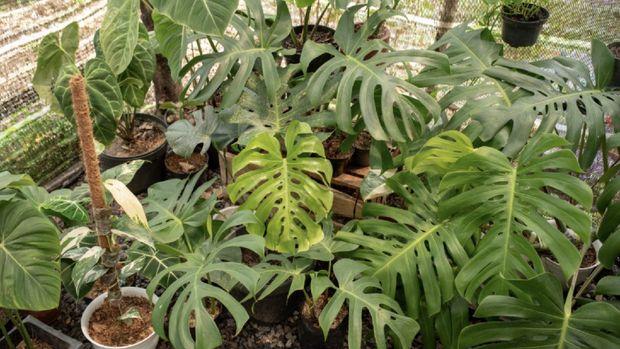 tanaman hias monstera koleksi rosyid ridho pratidinal jadid foto dok pribadi via detikcom 169