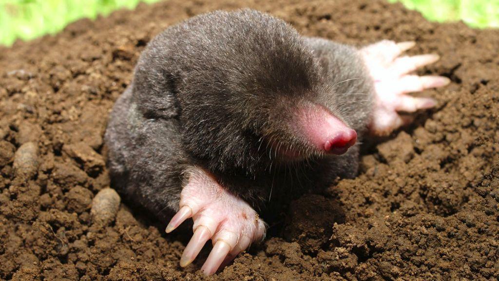 Ajaib, Tikus Tanah Betina Punya Testis!