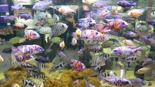 4 Fakta Dapat Cuan dari Jualan Ikan Chichild