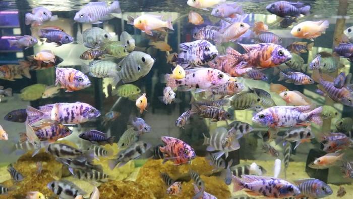 Bisnis ikan chichlid