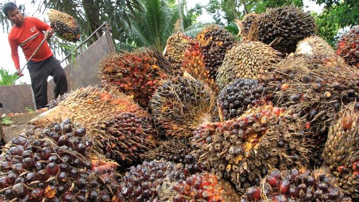 Pekerja menurunkan Tanda Buah Segar (TBS) kelapa sawit dari dalam truk pengangkutan di tempat penampungan Desa Leuhan, Kecamatan Johan Pahlawan, Aceh Barat, Aceh, Rabu (14/10/2020). Gabungan Pengusaha Kelapa Sawit Indonesia (Gapki) mencatat volume ekspor produk minyak sawit dan turunannya pada Agustus 2020 sebesar 2,68 juta ton atau turun 14,25 persen dibandingkan bulan Juli yang mencapai 3,13 juta ton. ANTARA FOTO/Syifa Yulinnas/foc.