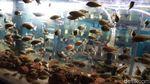 Pandemi COVID-19, Ikan Chichlid Diburu Warga