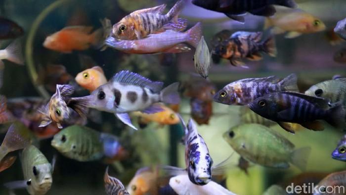 Saat pandemi ini, tidak hanya ikan guppy atau ikan cupang yang dicari pehobi ikan hias. Ikan chichlid banyak diburu warga.