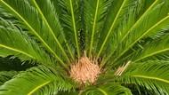 Potensi Pengembangan Lahan Sagu di RI Capai 5,5 Juta Hektare