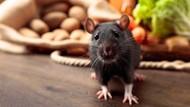 Tikus Got yang Punya Banyak Skill dan Harimau Peluk Pohon