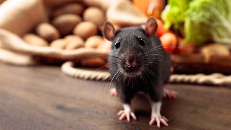 Tikus got