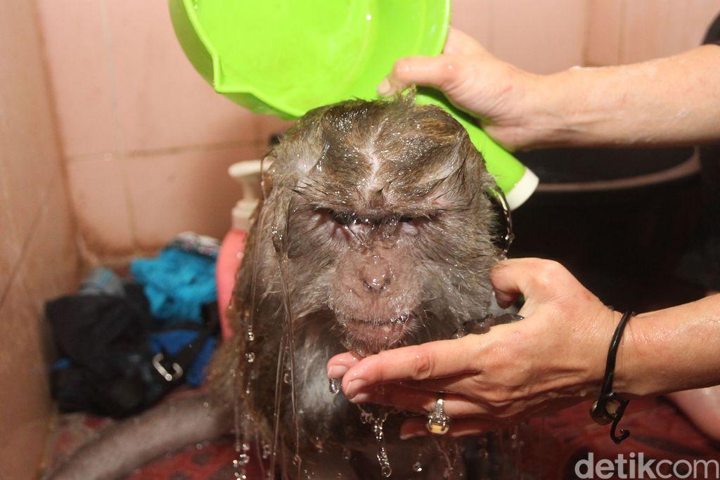 Monyet terlantar yang diadopsi di Karawang dirawat sampai jadi sehat. Begini pola perawatannya.