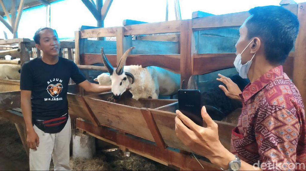 Meli dan Reno, Domba Unik Bertanduk Empat di Majalengka