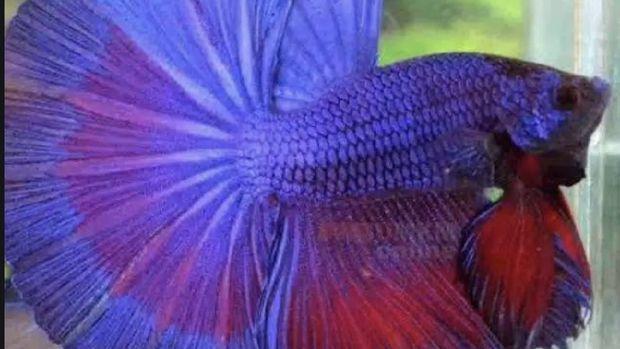 Ikan cupang Halfmoon (Ist Shopee)
