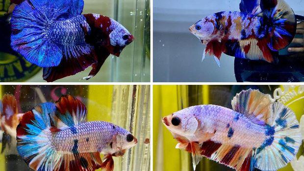 Scorphy Novanlized yang menjual berbagai jenis ikan cupang