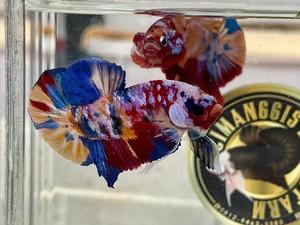 10 Jenis Ikan Cupang yang Cantik untuk Dipelihara di Rumah