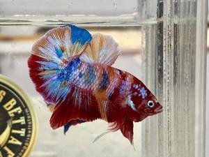 Ini Jenis Ikan Cupang yang Harganya Mahal Menurut Pakar