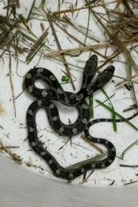Semua orang kaget dan histeris begitu melihat ular berkepala dua ini. Meski aneh, tapi tenang saja, ular tersebut ular betulan kok, bukan jadi-jadian. Kelainan itu lazim ditemui di spesies ular dan bisa dijelaskan secara ilmiah. (dok. Jeannie Wilson)