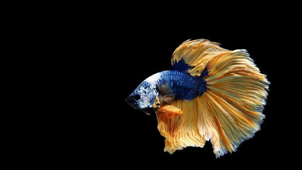 Paradise Fish, macropodus opercularis, Aquarium Fishes