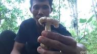 Menengok Tradisi Warga Pacitan Berburu Jamur Hutan Awal Musim Hujan