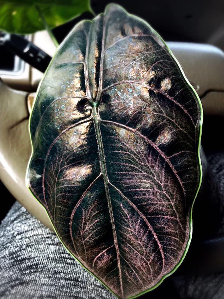 Alocasia Azlanii (Tangkapan Layar Facebook Taiwan Orchid&Fern 植物選貨)