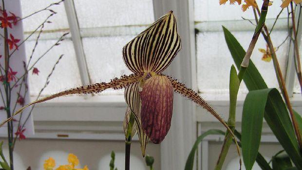 Gold of Kinabalu Orchid (Tangkapan Layar via Wikimedia Commons)
