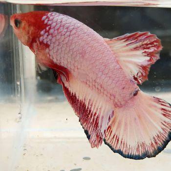 Foto ikan cupang.