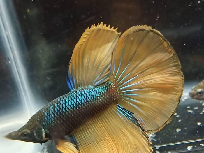 Ikan Cupang koleksi Nadine Candrawinata
