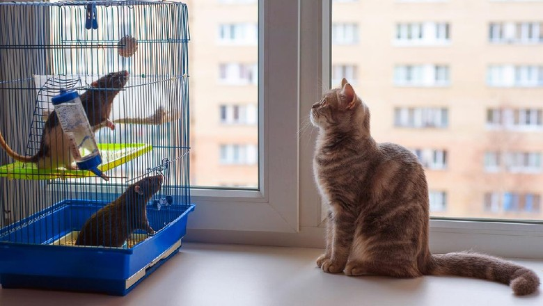 One young cat and two adult rats are looking at each other on the windowsill.
