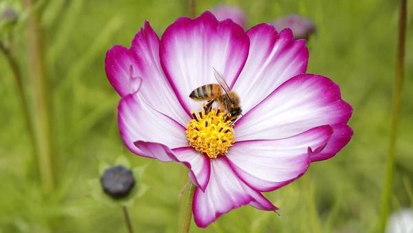 Cosmos merupakan tumbuhan tropis dan tumbuh liar di alam.