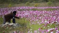Akhir musim panas di Korea Selatan menjadi waktu yang tepat untuk melihat bunga cantik ini bermekaran.