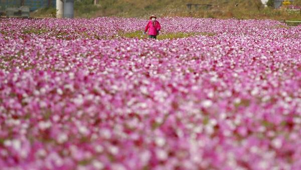 Seorang pengunjung berjalan di taman bunga cosmos di Paju, Korea Selatan.