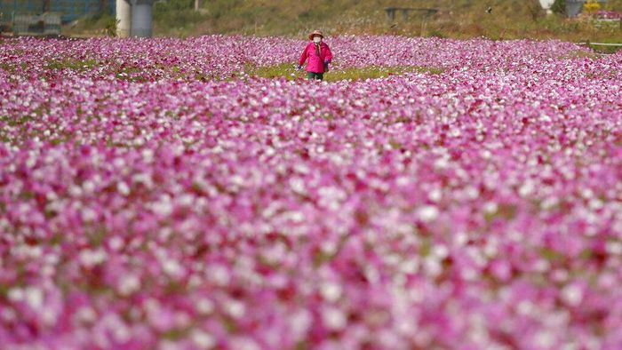 A visitor wearing a face mask as a precaution against the coronavirus takes a picture of blooming cosmos flowers in Paju, South Korea, Wednesday, Oct. 14, 2020. (AP Photo/Lee Jin-man)