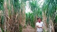 Menengok Bisnis Tanaman Pakan Ternak di Tengah Pandemi