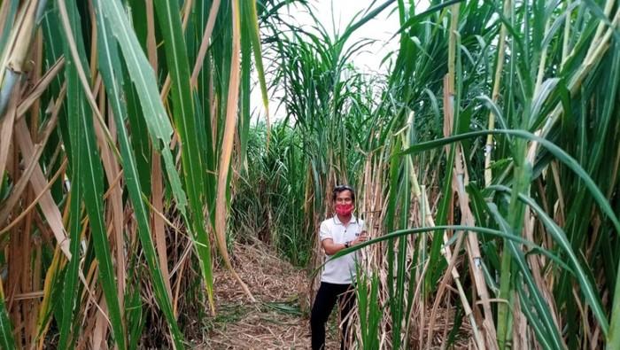 Lahan berisi pembibitan tanaman pakan ternak di desa Kadirejo, Pabelan, Kabupaten Semarang