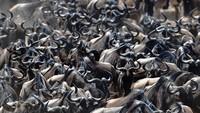 Setiap tahun antara Juni dan Desember, salah satu migrasi hewan terbesar dan terpanjang di dunia terjadi di Afrika Timur.