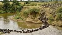 Dijuluki oleh banyak orang sebagai Migrasi Besar, rute migrasi hewan ini melingkar membentang sejauh 800-1.600 kilometer. Kawanan wildebeest sering terlihat berjalan membentang sepanjang 40 kilometer.