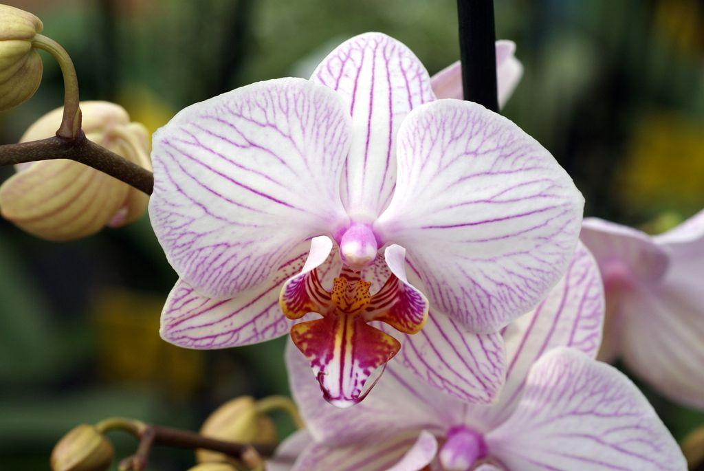 Shenzhen Nongke Orchid (foto :WALLSDESK)