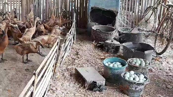 Telur itik, bahan baku pembuatan telur asin