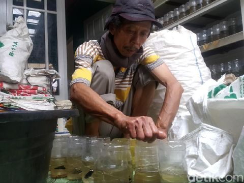 Tren memelihara ikan cupang saat ini berdampak pada bisnis jual beli ikan cupang. Di Kuningan, Jabar misalnya penjual ikan cupang mengalami peningkatan omzet.