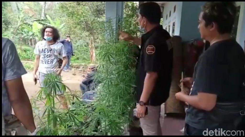 Pemilik Tanaman Ganja di Tasikmalaya Ternyata Adik Eks Walkot Serang