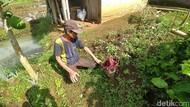 Musim Hujan, Bunga Bangkai Suweg Kembali Muncul di Ciamis