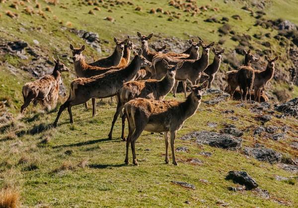 Deer Park Heights juga punya kawasan peternakan yang memungkinkan pengunjung untuk melihat rusa merah, kambing, kuda mini, llama, alpaka, keledai, dan babi Kunekune. Pengunjung dapat berkendara di sepanjang lima kilometer jalan yang mencakup tempat piknik dan 20 menit berjalan kaki dengan pemandangan 360 derajat dari pegunungan Wakatipu dan The Remarkables. (dok Deer Park Heights)
