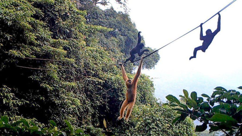 Membuat Tali Ayunan Demi Menyelamatkan Owa, Primata Terlangka di Dunia