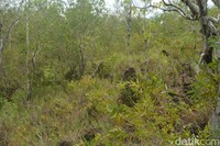 Karena Corona, banyak warga yang datang untuk memetik ranting kayu manis di situs ini. (Hari Suroto/Istimewa)