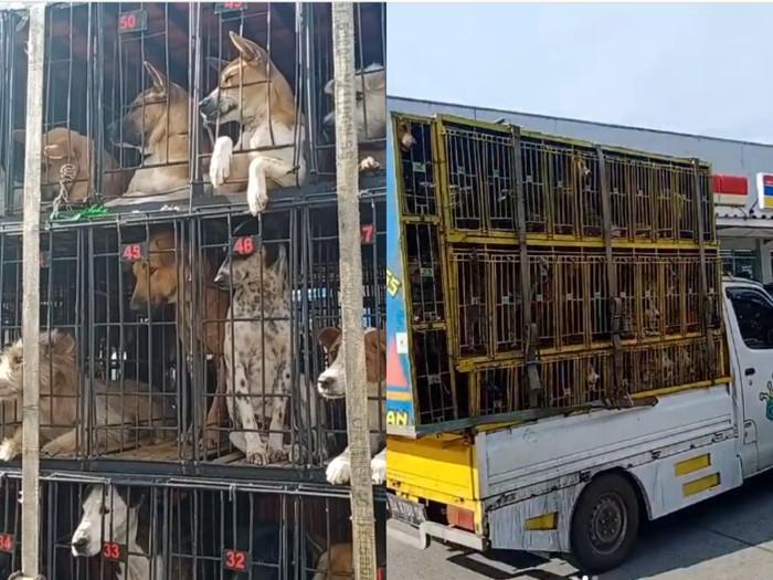 Viral! Puluhan Anjing Siap Dikirim ke Medan untuk Dijadikan Santapan
