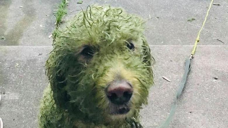 Anjing guling-guling di rumput