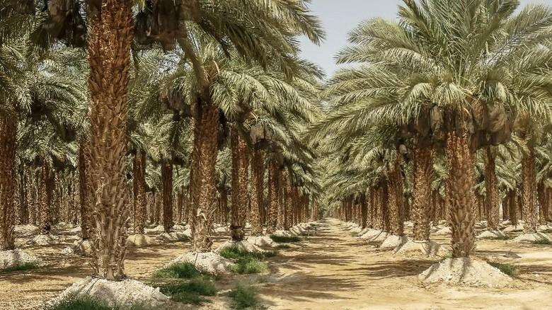 date palms growing in a plantation near the dead sea in israel