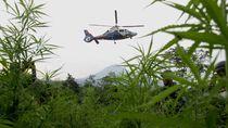 Polisi Gerebek 10  Hektar Kebun Ganja di Tanah Rencong