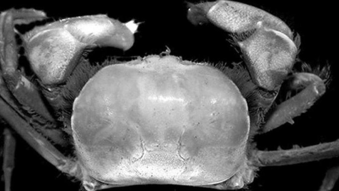 Spesies kepiting baru bernama Typhlocarcinops raouli dan Typhlocarcinops robustus yang ditemukan di muara Sungai Ajkwa, area PT Freeport Indonesia di Kabupaten Mimika, Provinsi Papua. (ANTARA/PTFI)