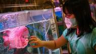 500 Ikan Louhan Ikutan Kontes Nasional di Tangerang