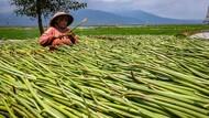 Pemanfaatan Eceng Gondok di Danau Rawa Pening