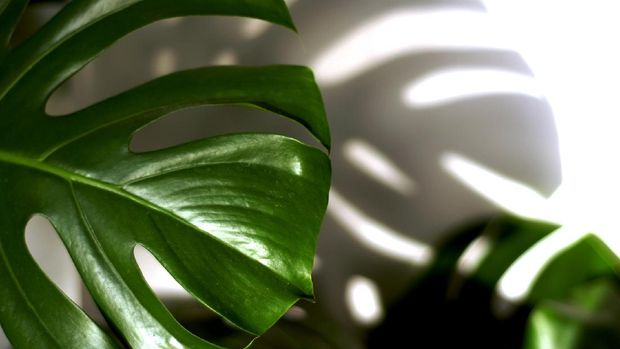 Philodendron (Image by bstad from Pixabay)